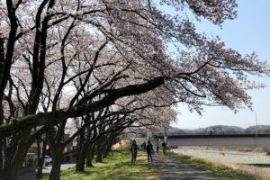多摩川河川敷の桜並木