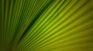 loulu-palm-pritchardia