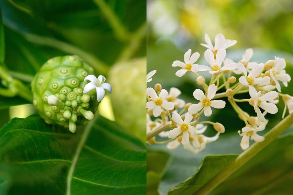 左:ノニの実と花、右:ククイの花