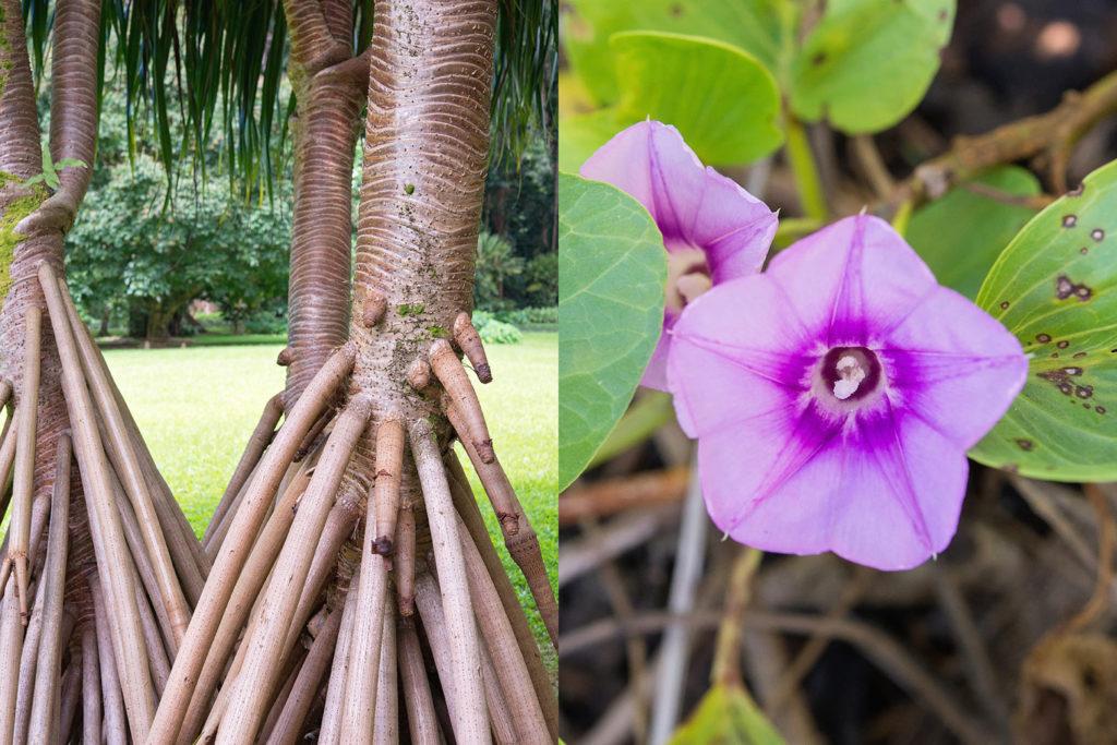 左:ハラの幹と気根、右:ポーフエフエの花