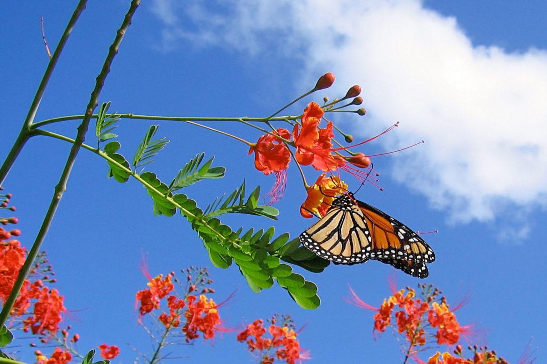 オオゴチョウの花の蜜を吸うモナークチョウ