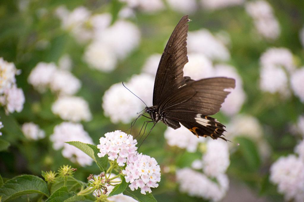 ランタナの花とモンキアゲハ(﨑津集落)