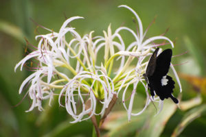 ハマユウの花にとまるモンキアゲハ