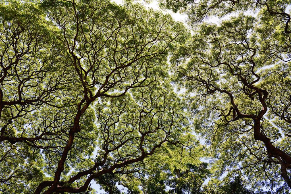 モンキーポッドの木陰