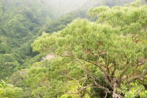 マーノア・バレーとコアの木