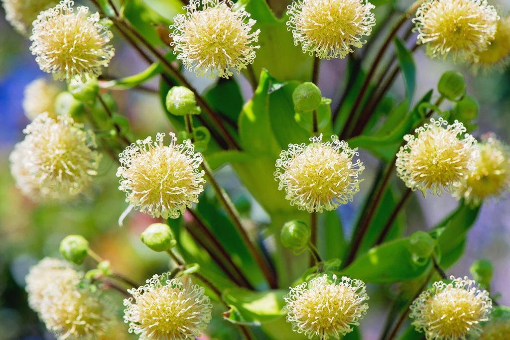 イリアウの花